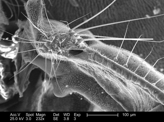 Magnified 232x, this scanning electron micrograph (SEM) depict some of the morphologic details found associated with the wing attachment of