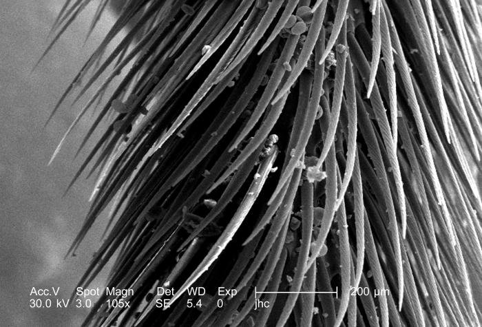 At a low magnification of 105x, this scanning electron micrograph (SEM) depicted some of the morphologic details found on one of the legs of