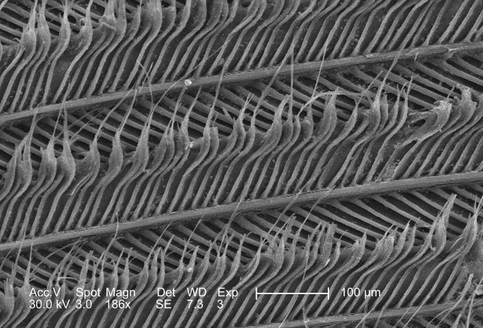 This scanning electron micrograph (SEM), at a moderate magnification of 186x, depicted the strut-like configuration of an unidentified bird