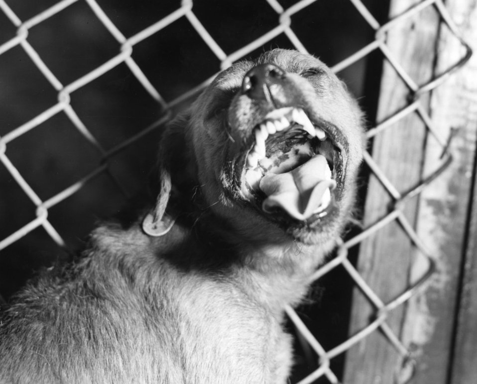 This photograph shows a canine suspected of being rabid that had been exhibiting signs of restlessness, and overall uncharacteristic aggress