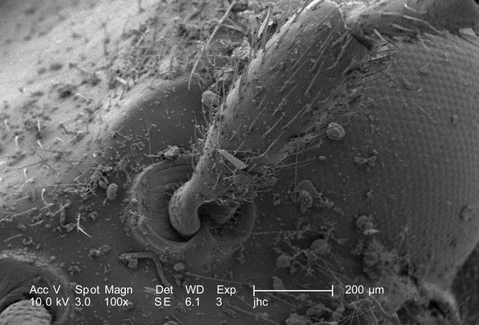 Revealed using a scanning electron microscope (SEM), at a magnification of 100X, were the exoskeletal ultrastructural characteristics of thi