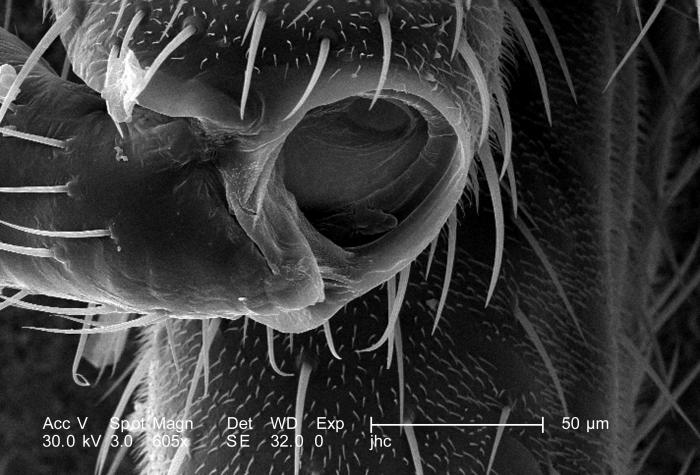 Magnified 605X, this scanning electron micrograph (SEM) depicted some of the morphologic details found at one of the leg joints of what was