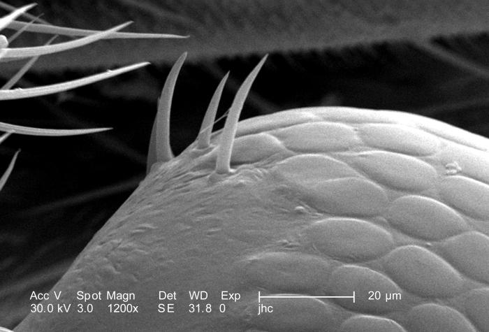At twice the magnification, i.e., 1200X, as that of PHIL 9905, this scanning electron micrograph (SEM) depicted one of the two compound eyes