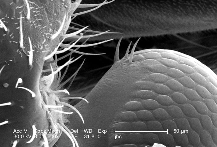 At twice the magnification, i.e., 600X, as that of PHIL 9904, this scanning electron micrograph (SEM) depicted one of the two compound eyes