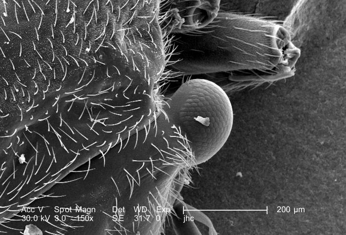 At half the magnification as that of PHIL 9902, magnified 150x, this scanning electron micrograph (SEM) depicted one of the two compound eye