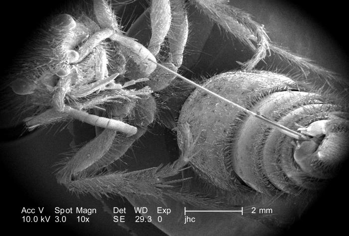 Under a very low magnification of only 10X, this scanning electron micrograph (SEM) revealed the morphologic details of a female velvet ant'
