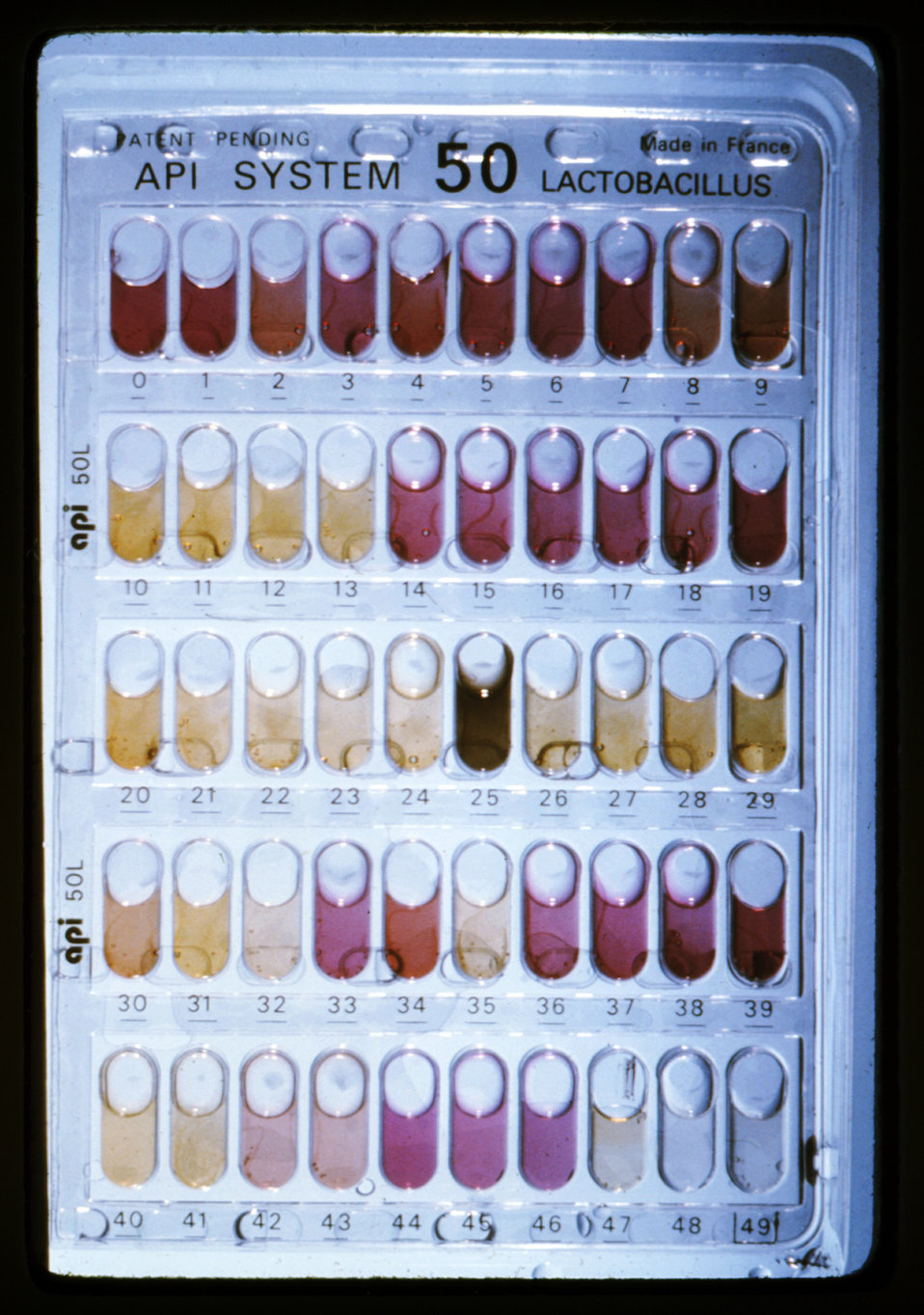 Using the API� system, here 50 wells have been inoculated with Clostridium ramosum.