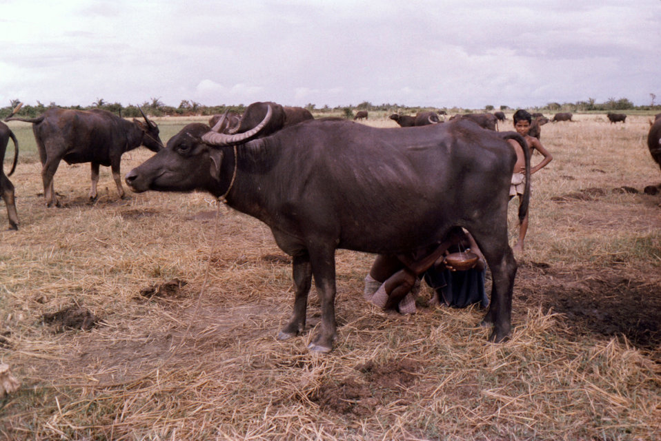 This October, 1975 photograph, depicted a man who was in the process of milking a water buffalo, in the Patuakhali District. of Bangladesh.
