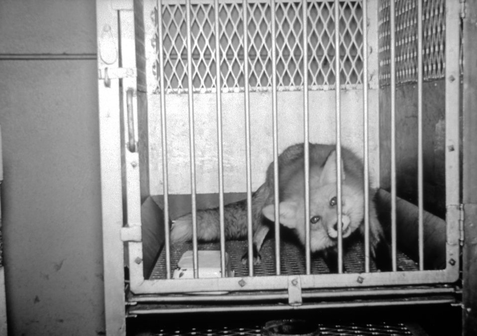 This photograph depicts a caged rabid fox.
