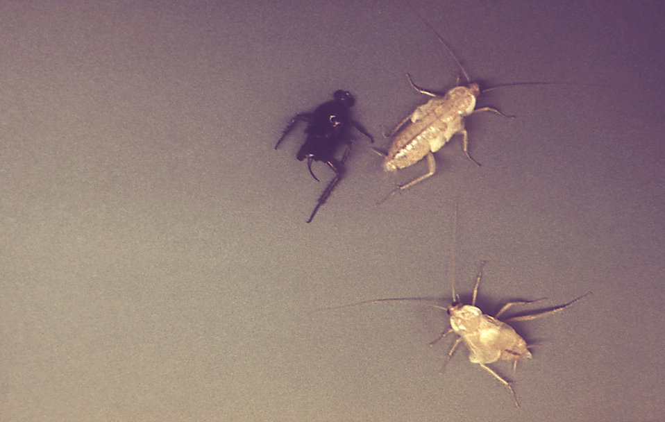 These are American cockroaches, Periplaneta americana.