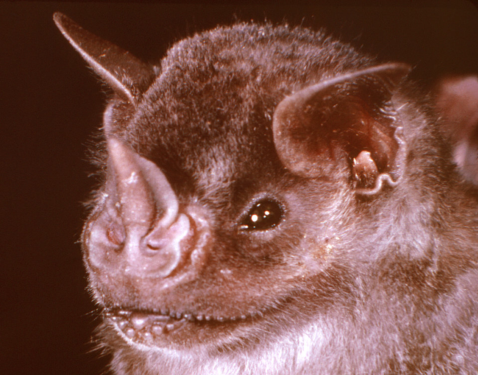This image depicts the head of an Underwood's mastiff bat, Eumops underwoodi. An insectivore, this flying mammal is a member of the family,
