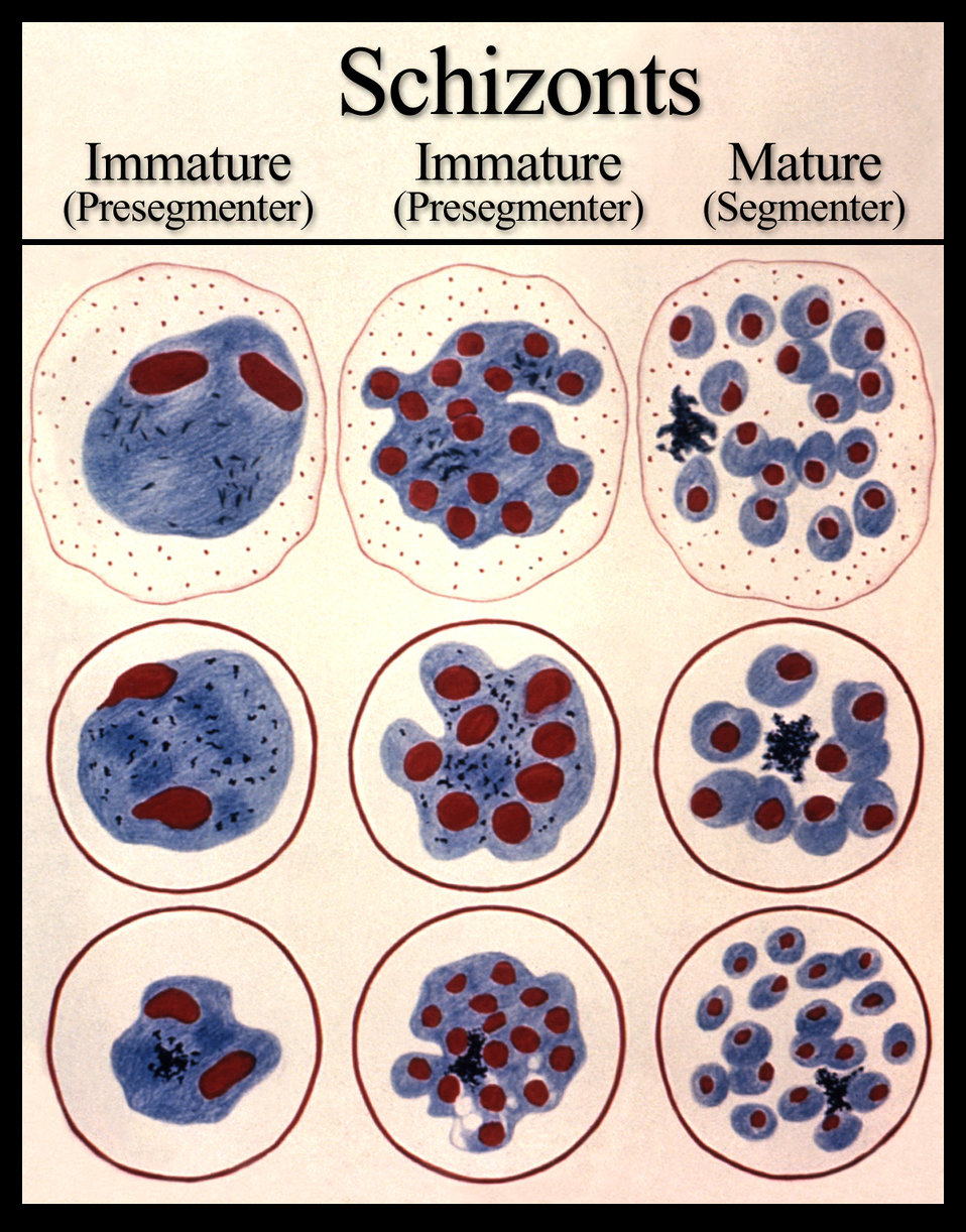 As a schizont, these are the various forms that the developing malarial parasite undergoes prior to the release of merozoites.