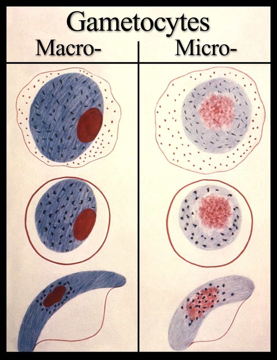 As a gametocyte, i.e., sexual erythrocytic stage, these are the various forms displayed by the developing malarial parasite.