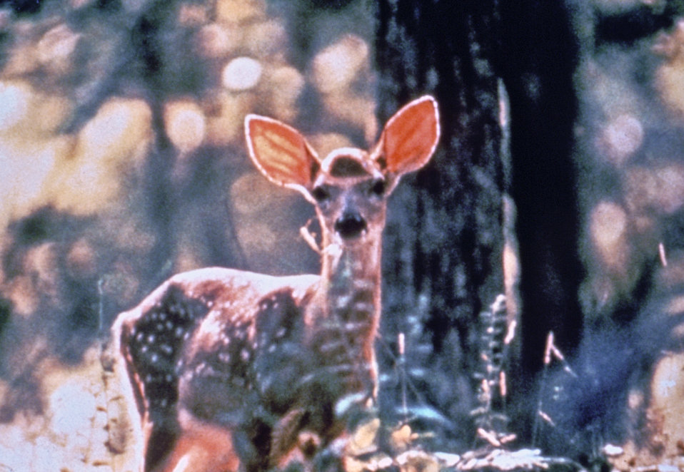 This photograph of a whitetail deer, Odocoileus virginianus, was taken during a Lyme disease field investigation in 1993.