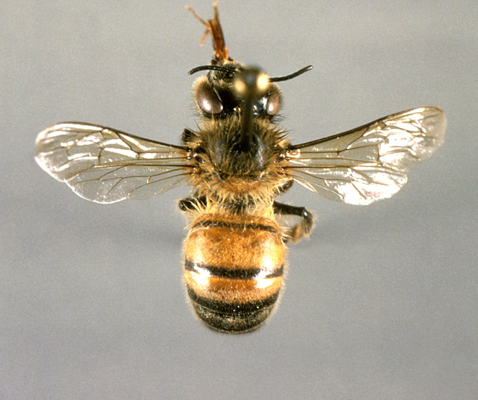 This image depicts a dorsal view of a 'worker' honeybee, Apis mellifera, an arthropod with three pairs of jointed legs.