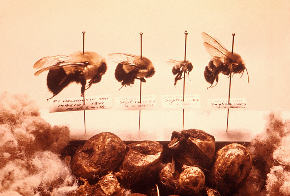 This image depicts a collection of bumblebee specimens, Bombus impatiens, collected in the early 1950s in Ithaca, N.Y.