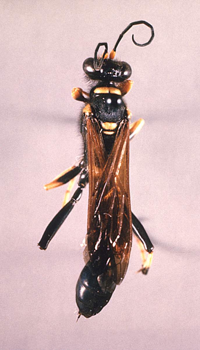 This image depicts a dorsal view of a black and yellow 'mud dauber' wasp, Sceliphron caementarium.