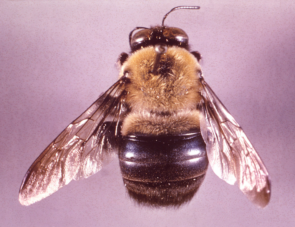 This image depicts a dorsal view of a 'large' carpenter bee, Xylocopa virginica, growing 20mm or larger.