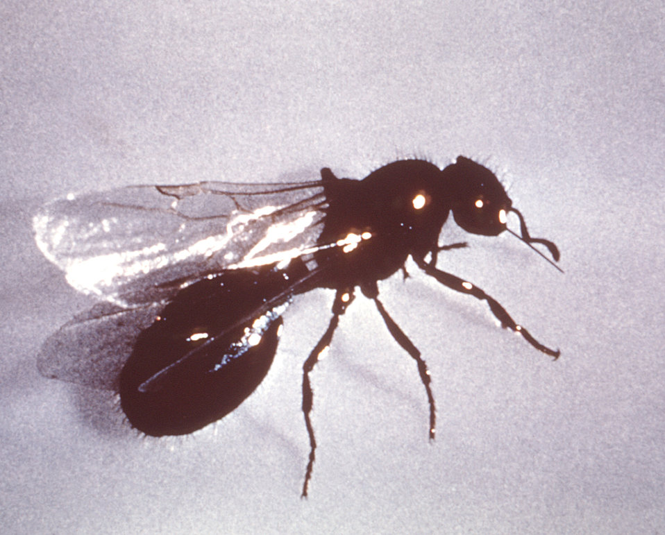 This image depicts a lateral view of an imported winged queen fire ant, Solenopsis saevissima var. richteri.