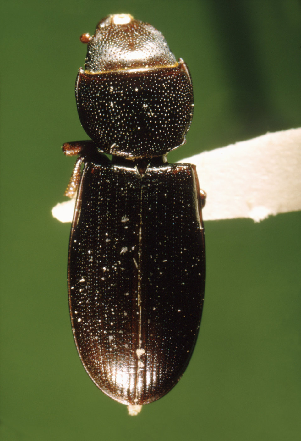 This ia a dorsal view of a 'cadelle beetle', Tenebroides mauritanicus often found in grain silos and mills; Mag. 7.7X.