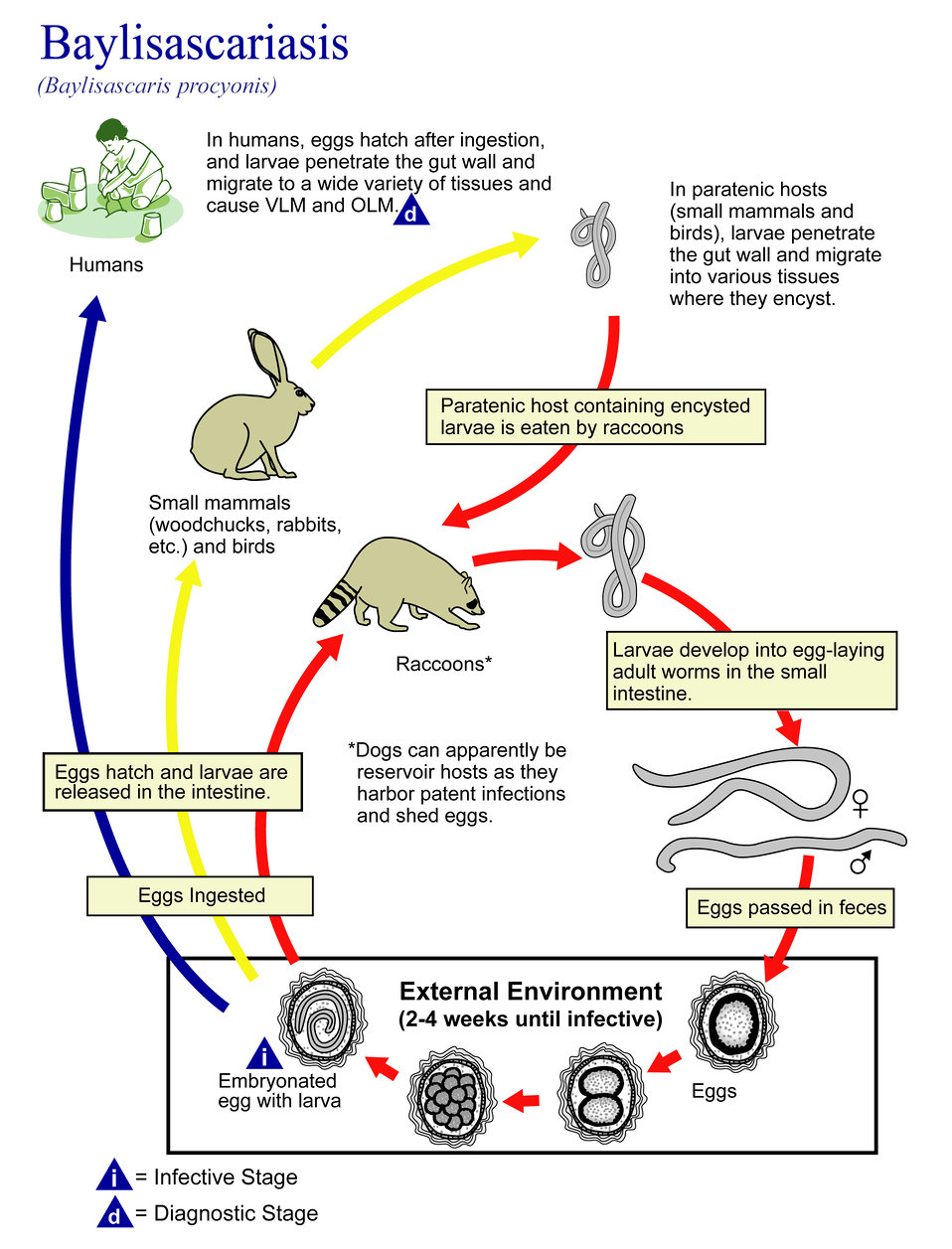 This illustration depicts the life cycle of Baylisascaris procyonis, the causal agent of Baylisascariasis.
