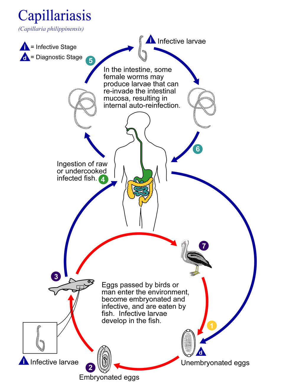 This illustration depicts the life cycle of Capillaria philippinensis, one of the causal agents of Capillariasis.