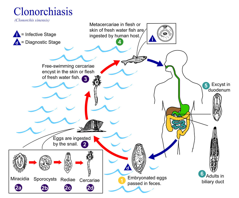 This is an illustration of the life cycle of Clonorchis sinensis, the causal agent of Clonorchiasis.