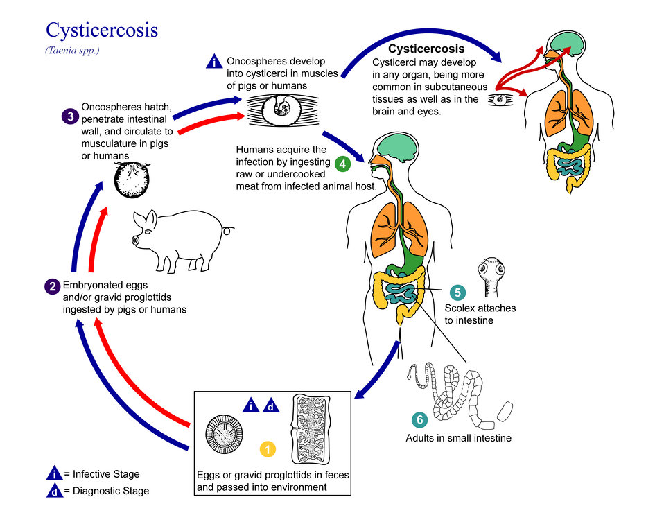 This is an illustration of the life cycle of Taenia spp., the causal agents of Cysticercosis.