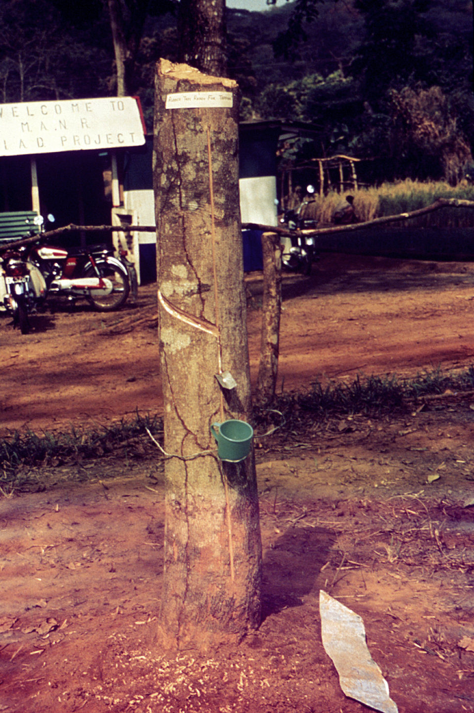 This image depicts a rubber tree with a collecting cup at the site of a 1976 Sierra Leone Lassa fever field study.
