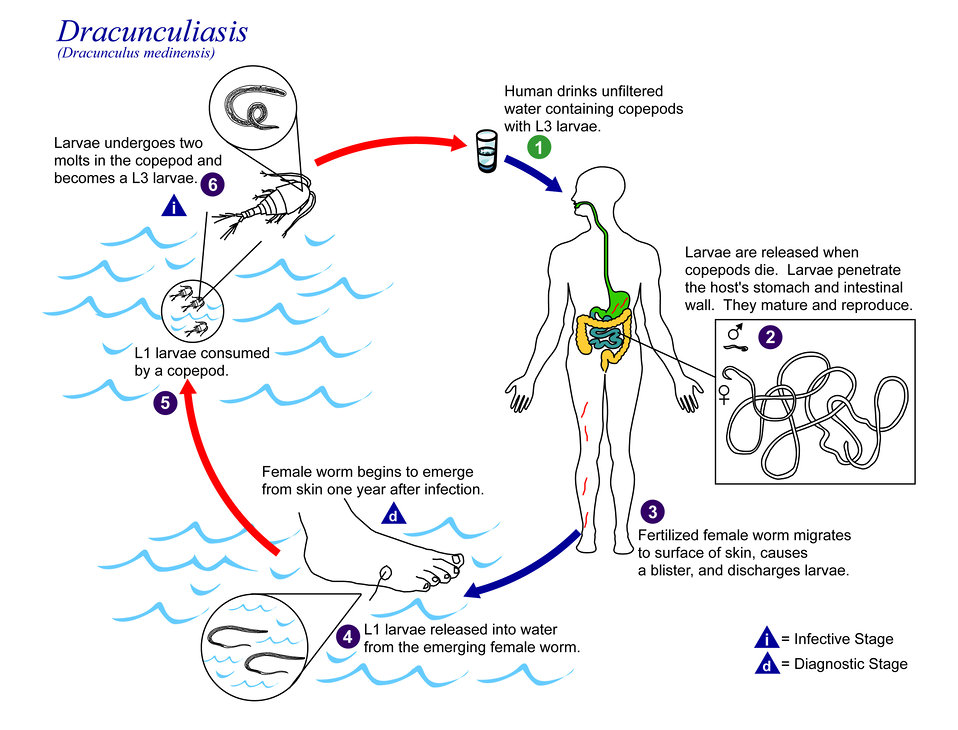 This is an illustration of the life cycle of Dracunculus medinensis, the causal agent of Dracunculiasis.