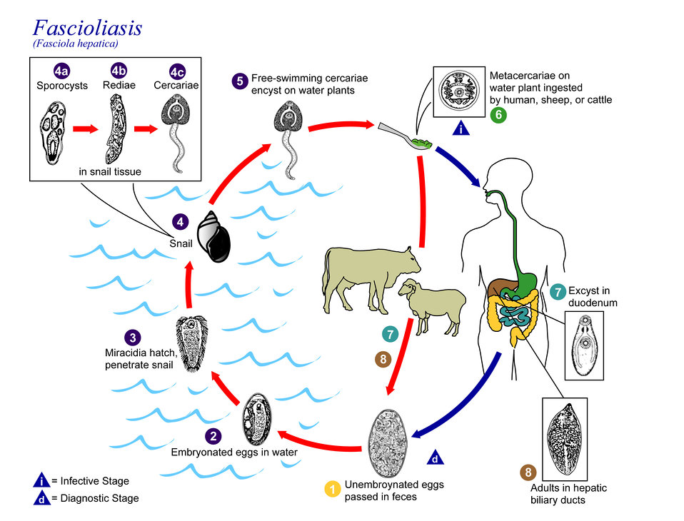 This is an illustration of the life cycle of the causal agents of Fascioliasis.