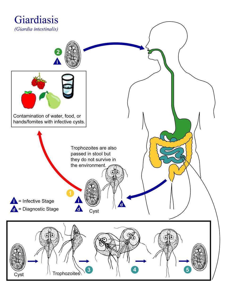 This is an illustration of the life cycle of Giardia lamblia (intestinalis), the causal agent of Giardiasis.