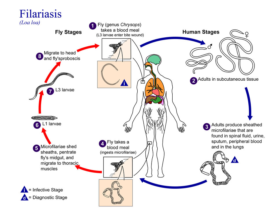 This is an illustration of the life cycle of Loa loa, one of the causal agents of Filariasis.