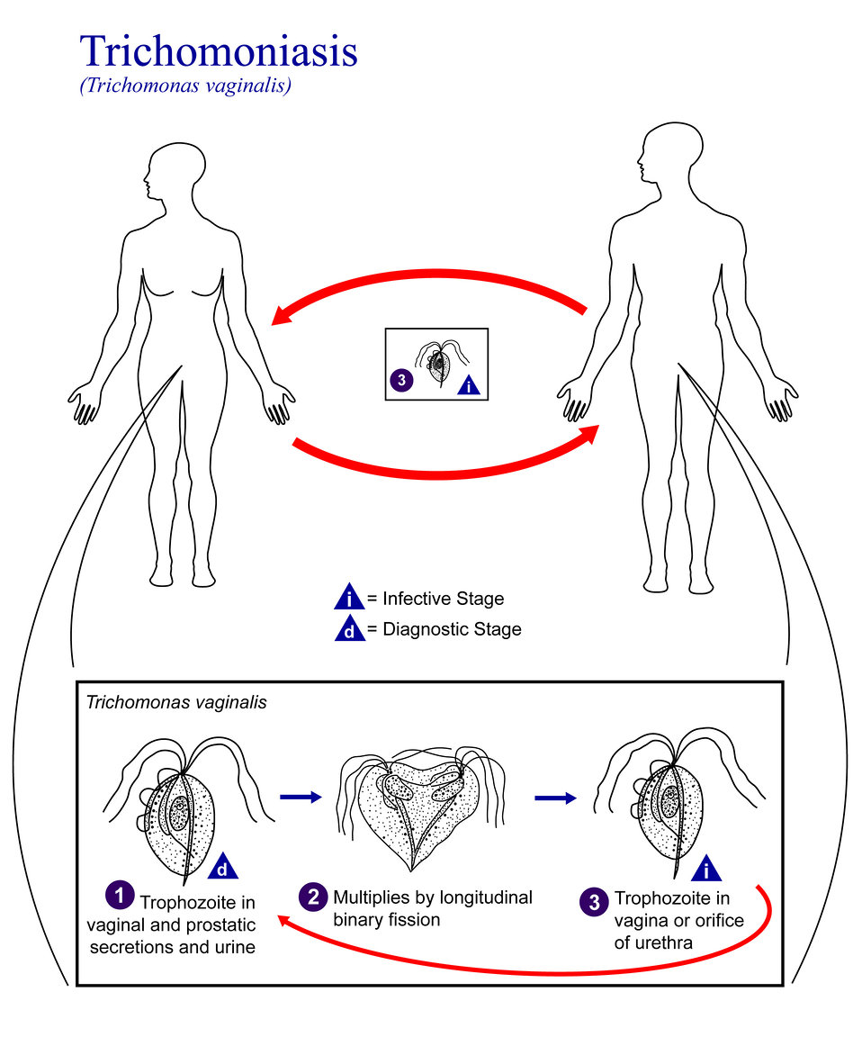 This is an illustration of the life cycle of Trichomonas vaginalis, the causal agent of Trichomoniasis.