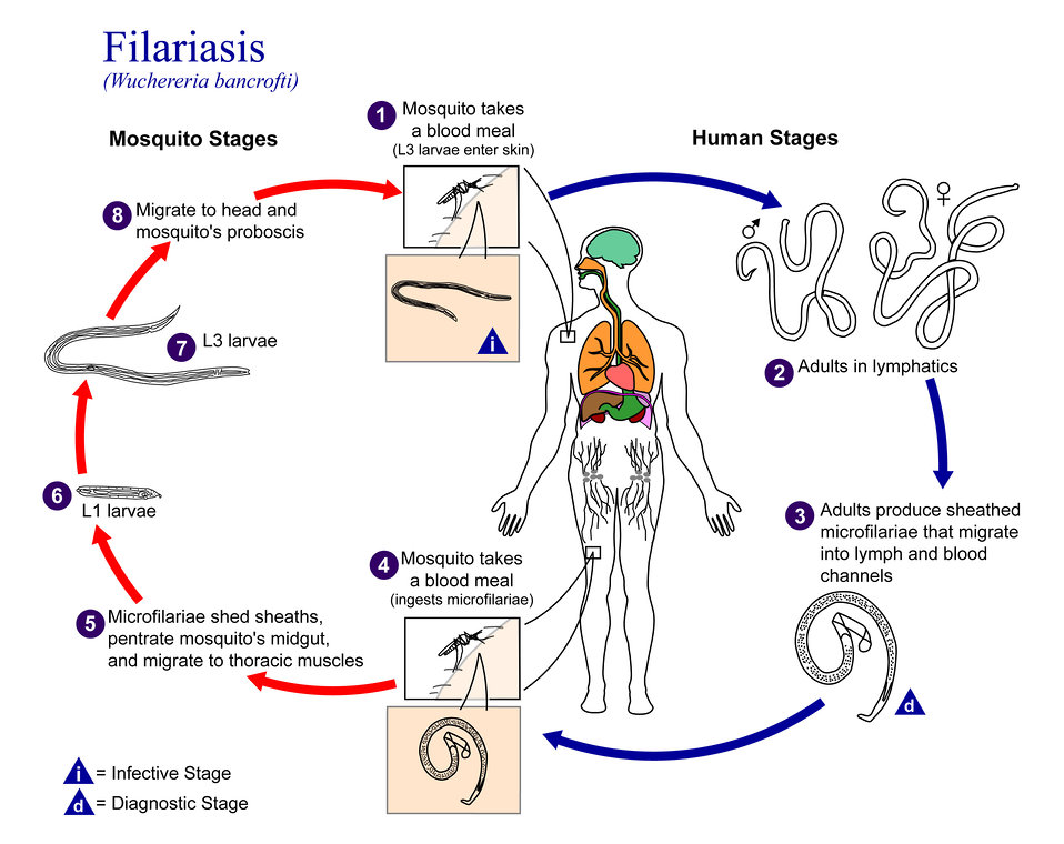 This is an illustration of the life cycle of Wuchereria bancrofti, one the causal agents of Filariasis.