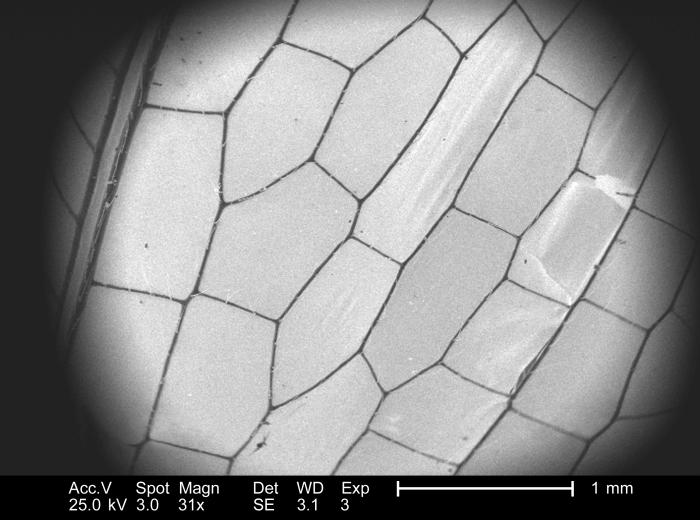 Under a low magnification of 31x, this 2005 scanning electron micrograph (SEM) depicted the wing venation of an unidentified deceased dragon