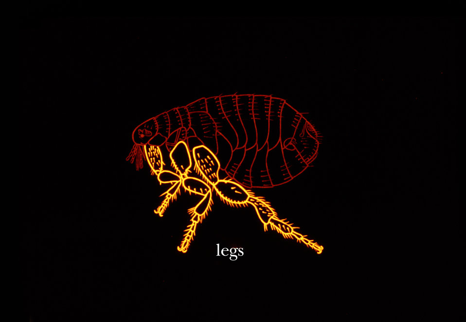 This illustration depicts the morphologic features associated with the leg anatomy of the flea.