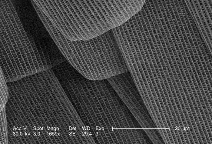 Magnified 1659x, this scanning electron micrograph (SEM) depicted a highly magnified view of the flying wing surface of an unidentified inse