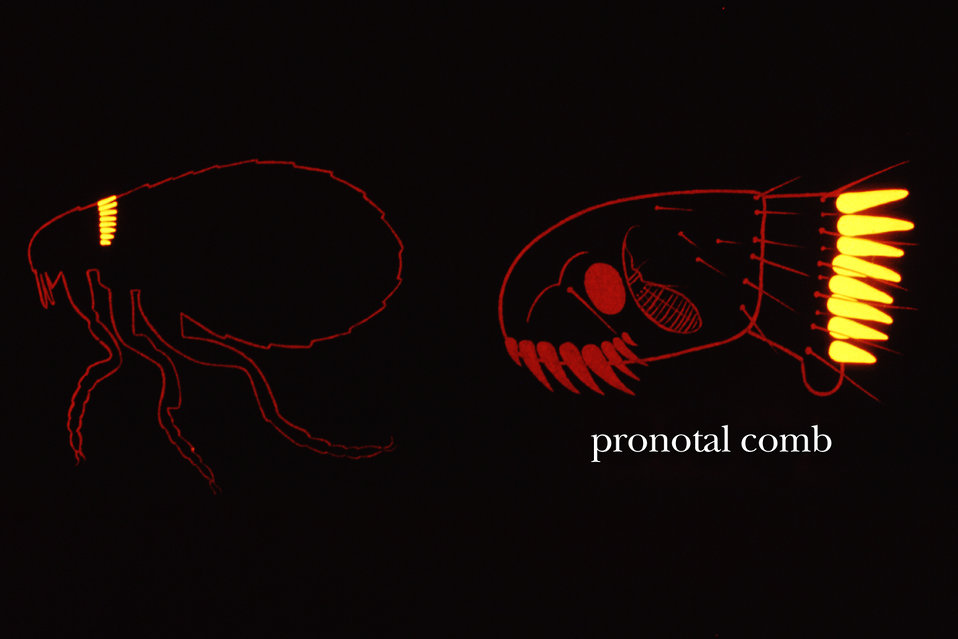The flea's pronotal comb is a morphologic characteristic on the insect's thoracic region used when identifying these creatures.