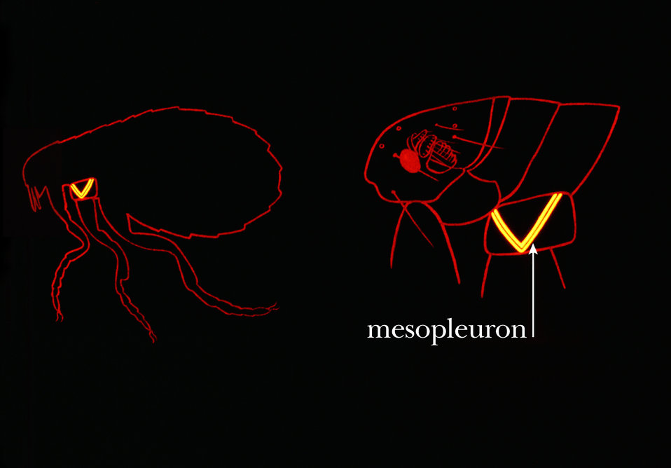 This drawing shows some of the morphologic characteristics on the thoracic region of a flea used when identifying these insects.