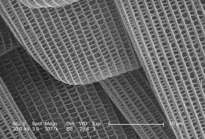 Under a high magnification of 3317x, this scanning electron micrograph (SEM) depicted the wondrous morphologic details found on the wing sur