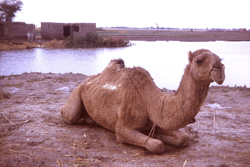 In this photograph, a camel relaxes near a village in the state of Gujarat, India.