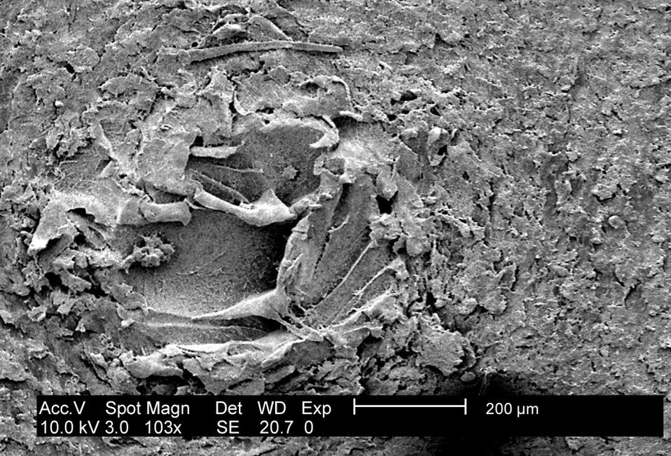 This low-mag SEM reveals surface irregularities in a biofilm coupon growing a 24hr biofilm of P. mirabilis (ATCC 29906).