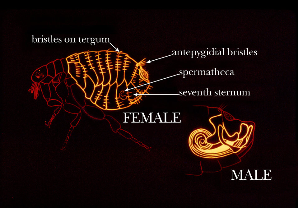 This illustration shows some common identifying characteristics found on the abdomen of the flea.