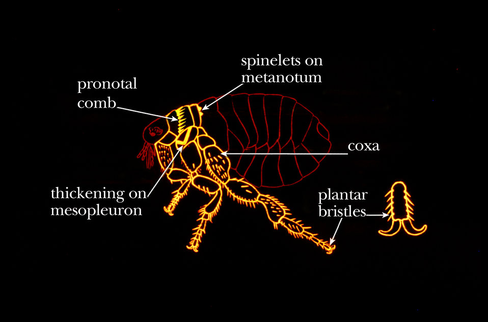 This illustration shows some common identifying characteristics found on the thorax of fleas.