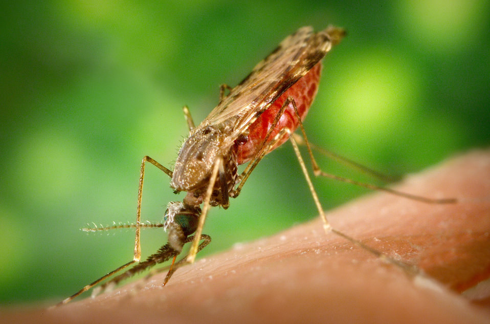 This 2005 photograph depicted a female Anopheles albimanus mosquito while she was feeding on a human host, thereby, becoming engorged with b