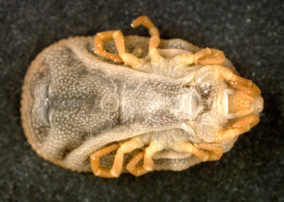 This 'soft tick' Carios kelleyi, formerly Ornithodoros kelleyi, is associated with bats, which act as its host.