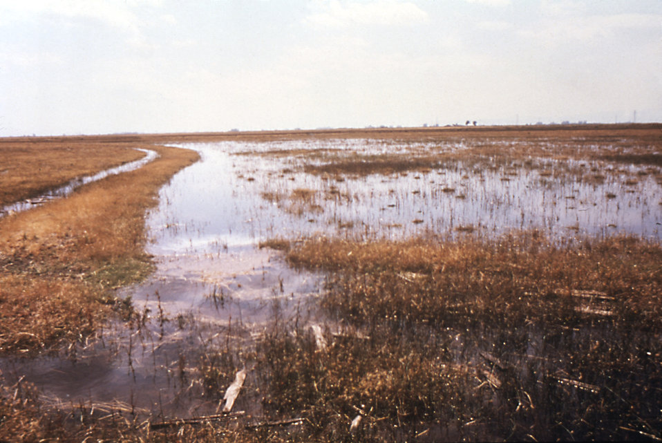 This 'contour check' irrigated field in a Solano, CA., M.A.D. (Mosquito Abatement District) contains areas of standing water.