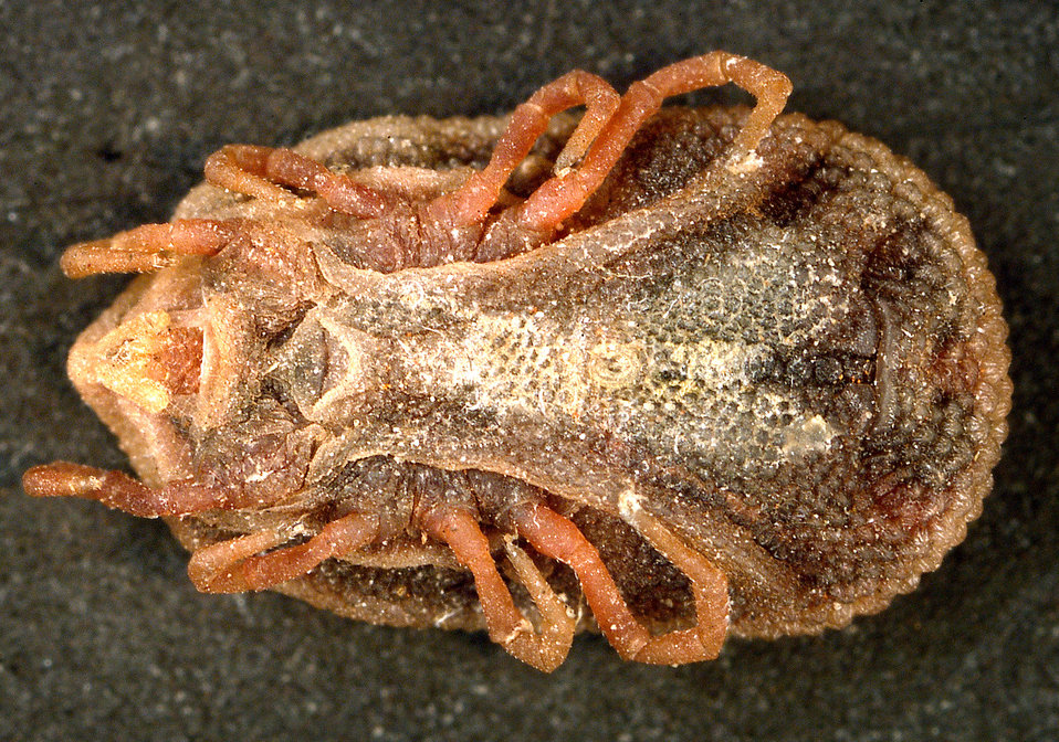 This is a ventral view of the 'soft tick' Carios kelleyi, formerly Ornithodoros kelleyi, or the 'Bat Tick'.