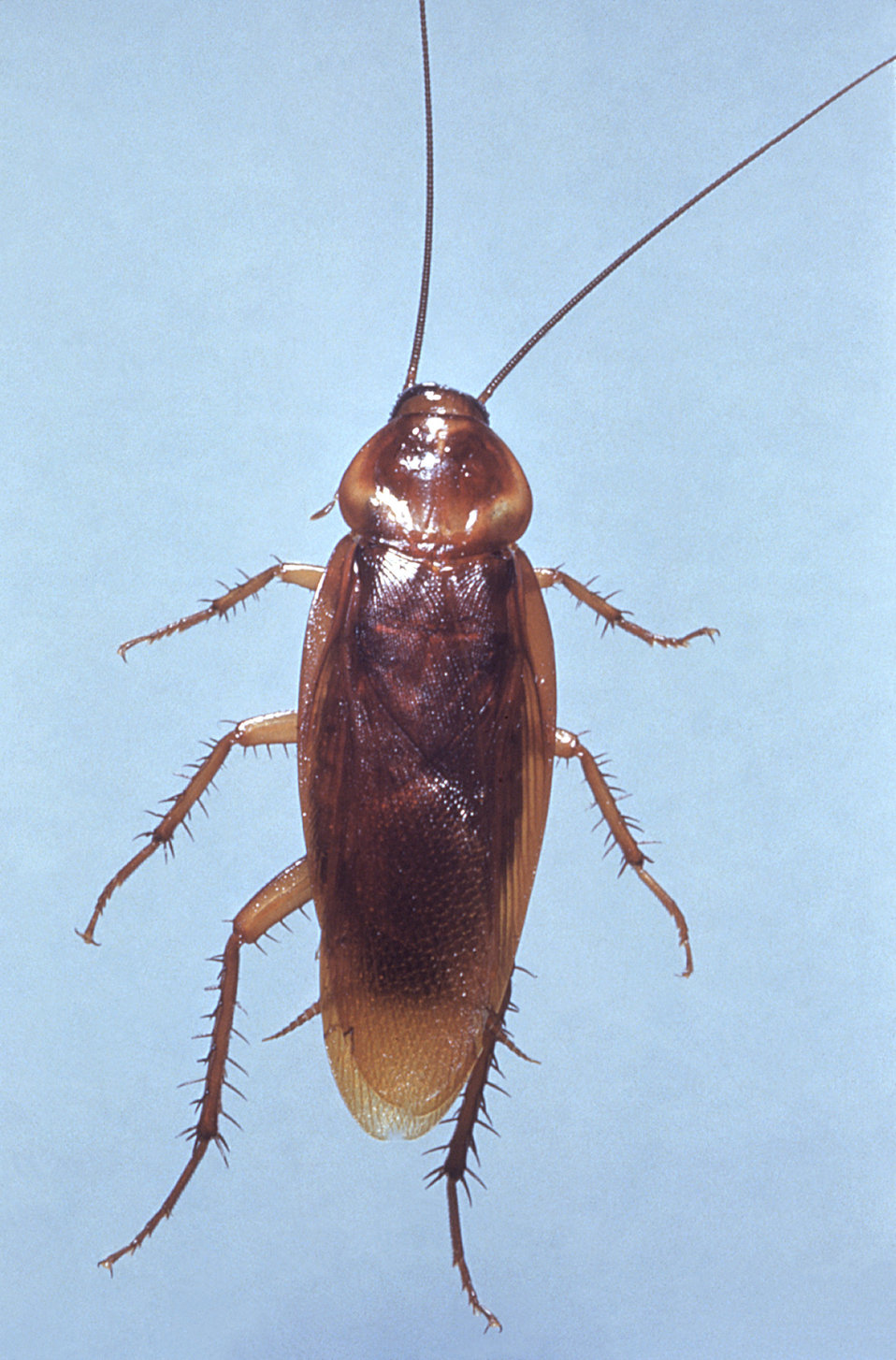 This is a dorsal view of an American cockroach, Periplaneta americana, a vector for a number of pathogenic organisms.